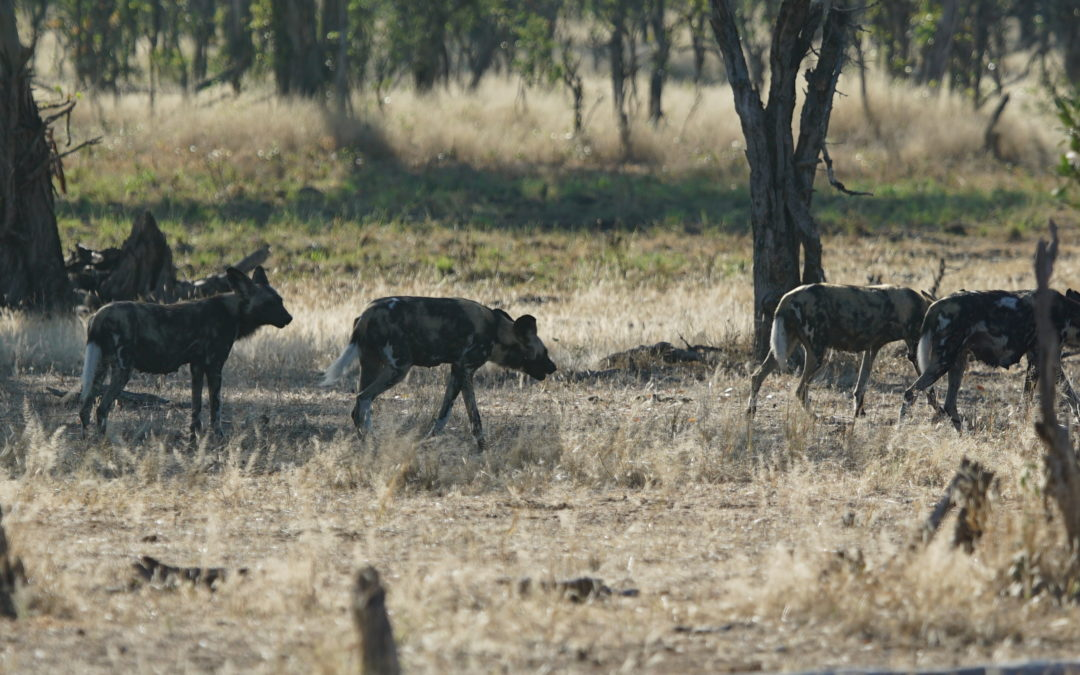 Old Wild Dog Research Disproved