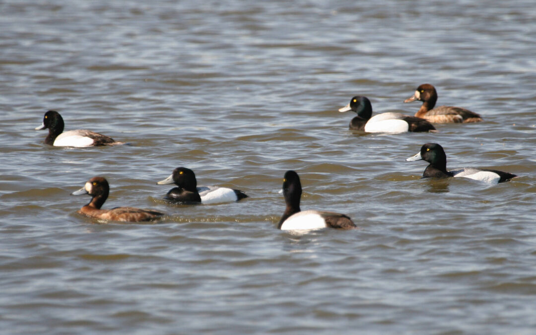 Over 200 Migrating Waterfowl Fatally Confuse Wet Pavement for Wetlands