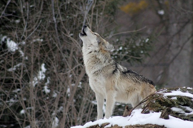 DSC Supports the Northern Rocky Mountains and Western Great Lakes Gray Wolf Delisting